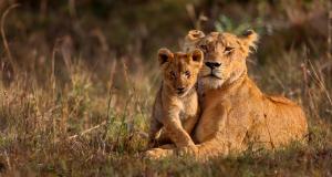 Lionne et son lionceau