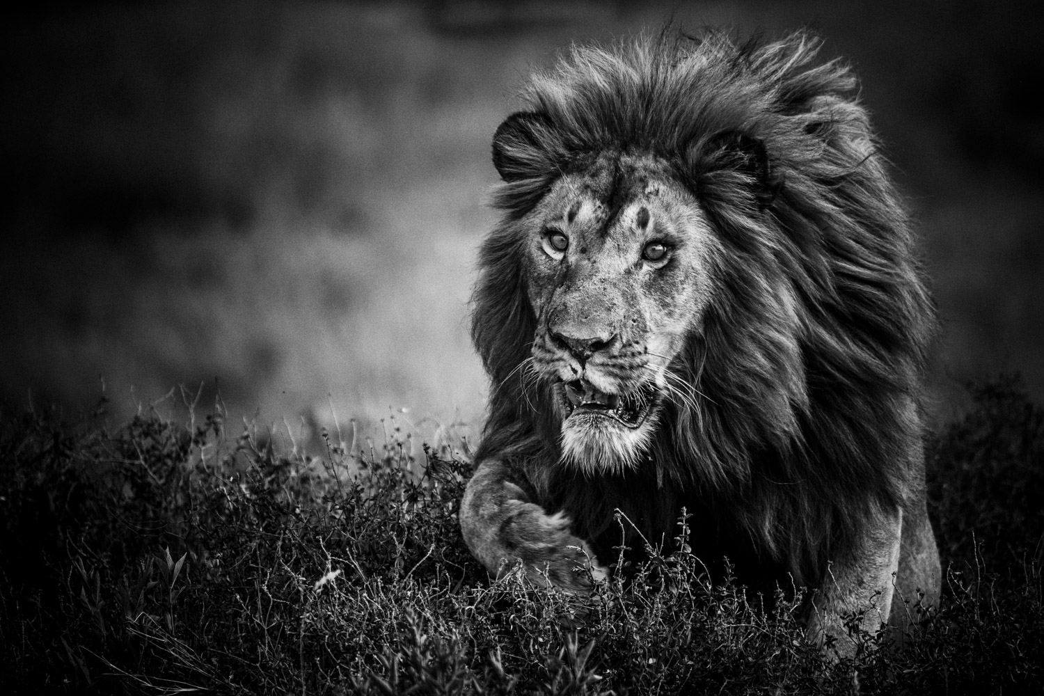 Le lion - Photo de Laurent Baheux