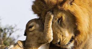Lion et son lionceau